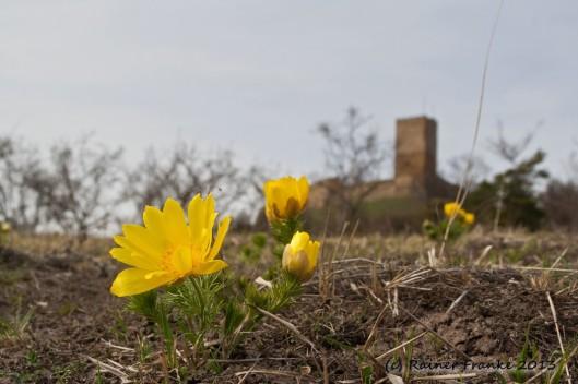 Frühlings-Adonisröschen mit Blick zur Burg Gleichen