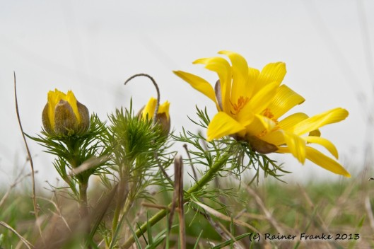 Frühlingsadonisröschen