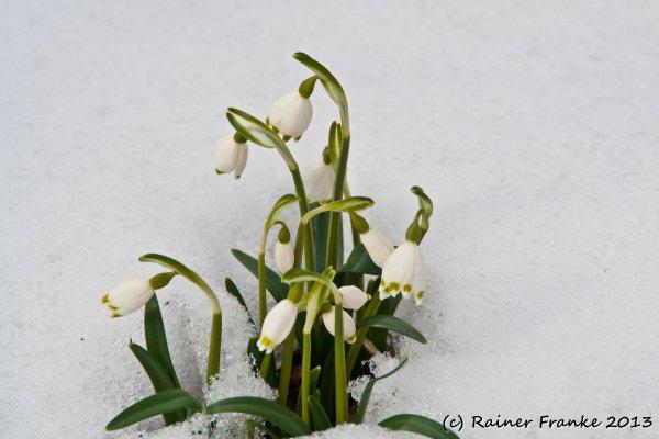 Märzenbecher im Winterwald