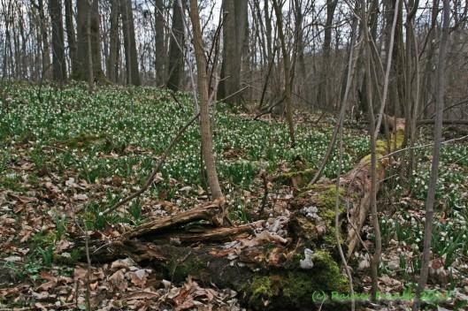 Märzenbecher im Wald (Mitte März 2011)