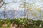 Anemonen an der Ostsee