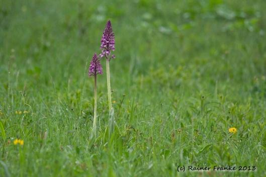 Orchideen auf einer Waldwiese