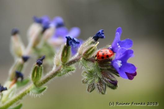 Krabbelkäfer auf Blume