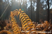 Farn im Herbstwald