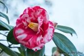 Kamelienblüte
