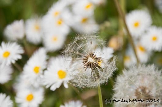 Pusteblume und Gänseblümchen