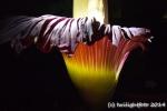 Blüte schwarz-rot-gold