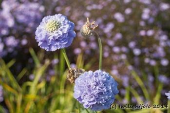 Blaue Herbstblume