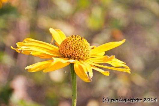 Gelbe Herbstblume