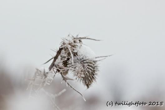 stachelige Winterschönheit