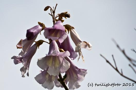 Blütenstand des Blauglockenbaums