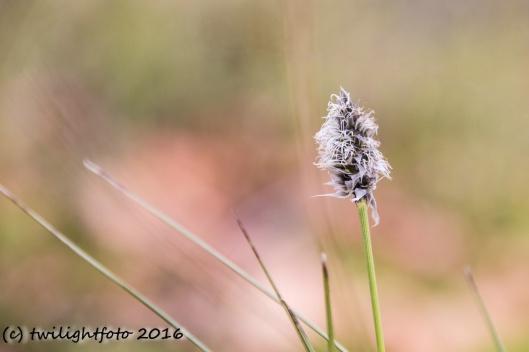 Blütenstand Moorgras