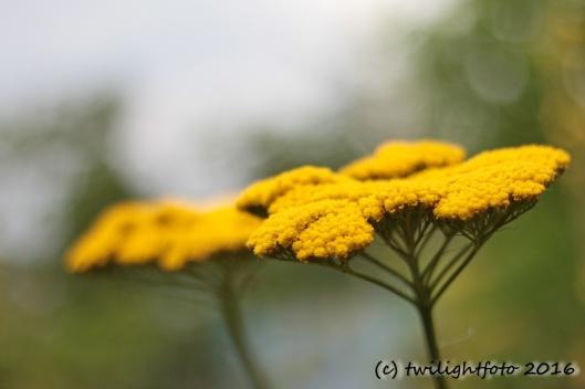 Gelbe Scharfgabe