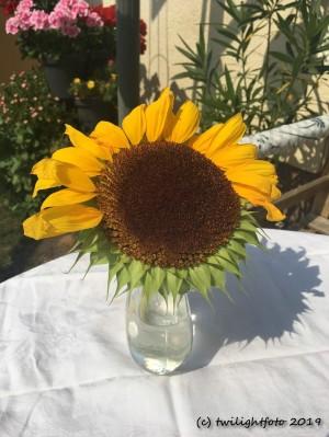 Sonnenblume auf Halbmast