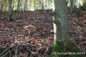 Neben-dem-Baum-steht-Pilz